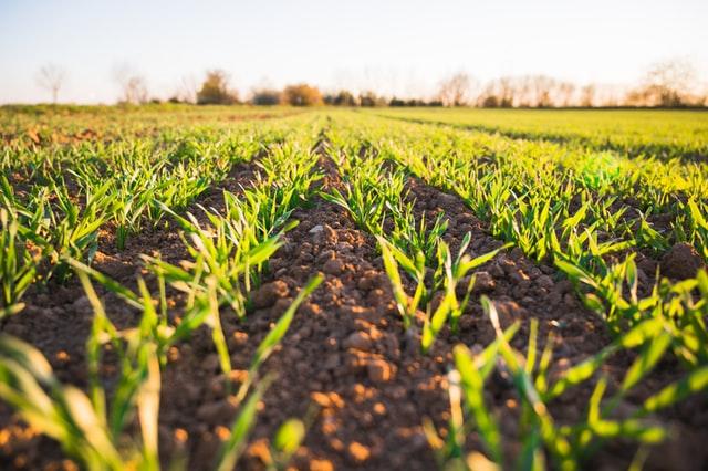 Środek sprzyjający ochronie zbóż
